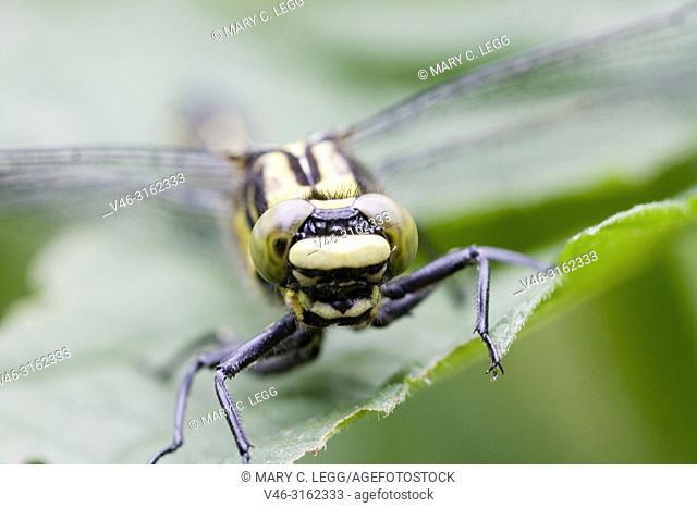 Female Club-tailed Dragonfly, Gomphus vulgatissimus. Eyes