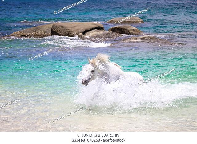Seychelles Pony. Gray adult mare in the sea. Seychelles