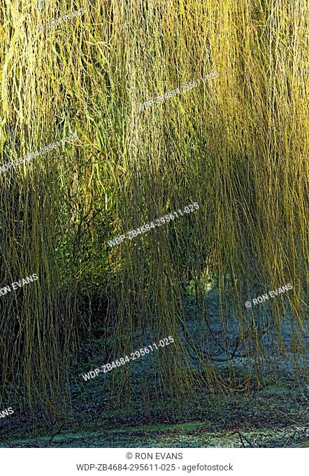 Weeping willow tree in winter sunshine on frosted lawn