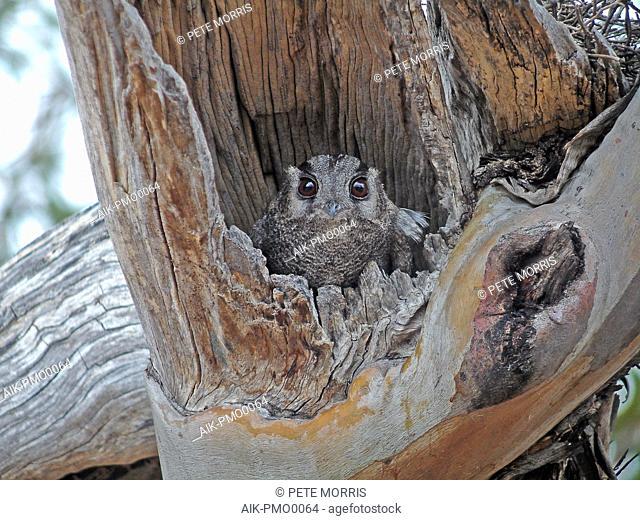 Australian owlet-nightjar (Aegotheles cristatus) resting during daytime in Australia in its nesthole