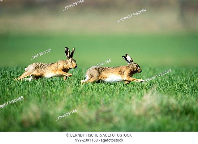 Hare (Lepus capensis), male pursuiting female during heat, Bavaria, Germany