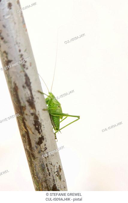 Side view of green cricket on a stem