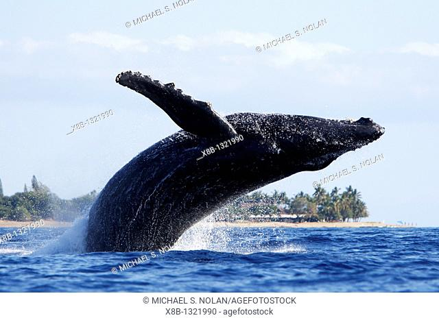 Adult humpback Whale Megaptera novaeangliae breaching near Mala Wharf in the AuAu Channel, Maui, Hawaii, USA  Pacific Ocean