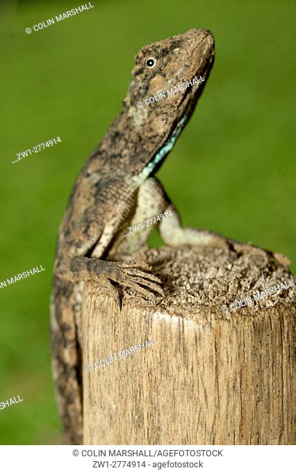 Flying Lizard (Draco volans), female, on tree stump, Klungkung, Bali, Indonesia