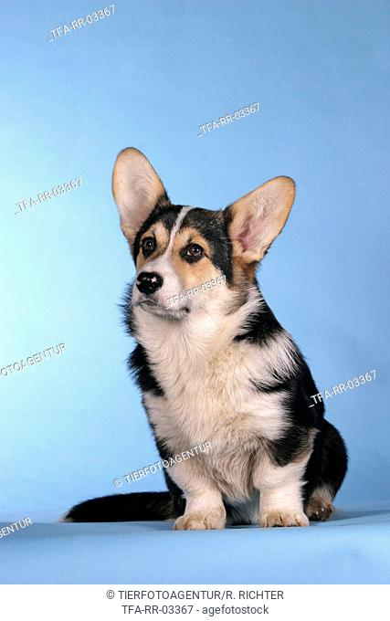 sitting Welsh Corgi Pembroke