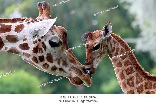 Nine-day-old giraffe Bine licks the nose of its giraffe aunt Andrea at Friedrichsfelde Zoo in Berlin,Germany, 09 May 2014