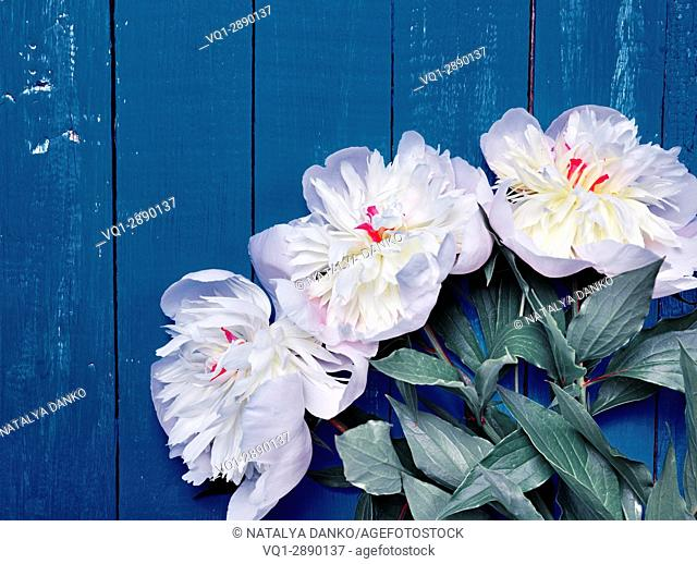 Bouquet of white peonies on a blue wooden background, vintage toning