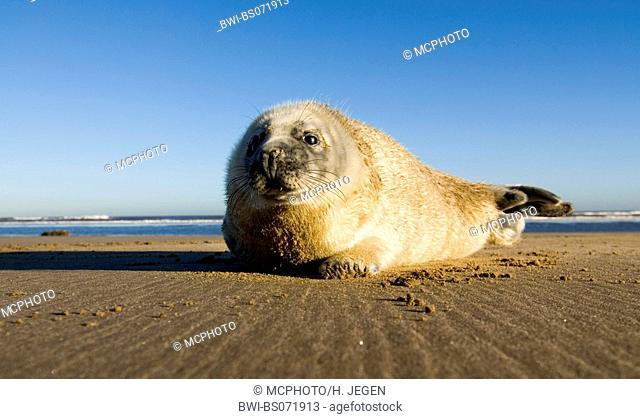 gray seal (Halichoerus grypus), lying on the beach, Europe, Germany, Schleswig-Holstein, Heligoland