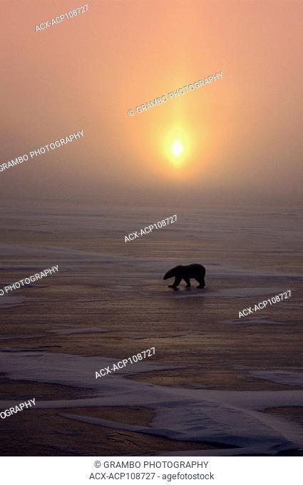Polar Bear, Ursus maritimus, walks across ice at sunset; Cape Churchill, Manitoba, Canada