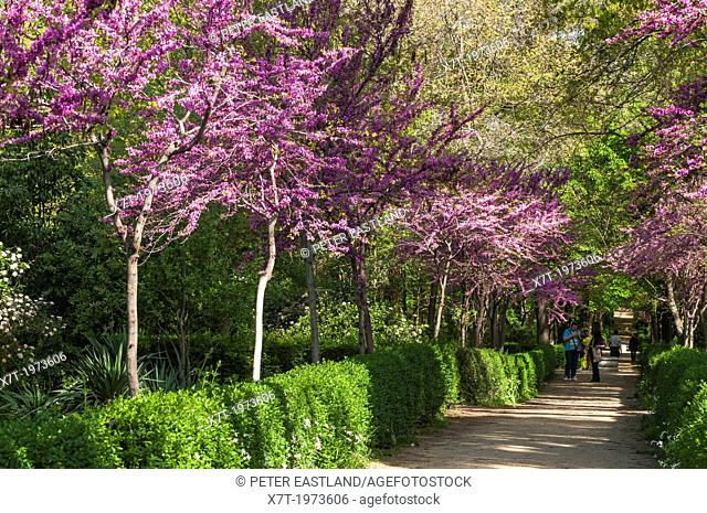 Judas trees in blossom at springtime in the Retiro Park in the centre of Madrid, Spain