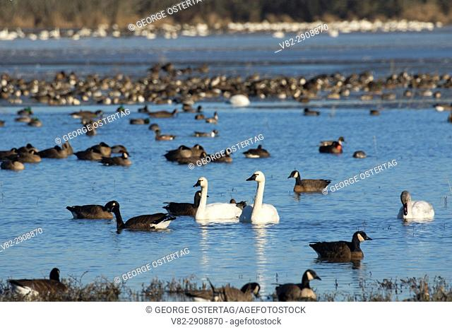 Canada geese (Branta canadensis) and tundra swans at McFadden Marsh, William Finley National Wildlife Refuge, Oregon