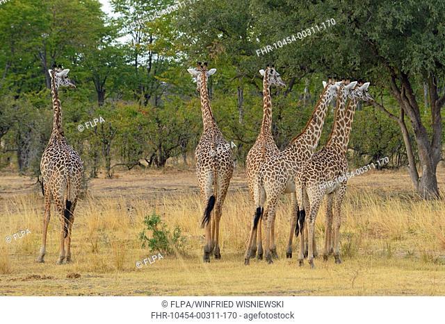 Thornicroft's Giraffe (Giraffa camelopardalis thornicrofti) six adults, standing in woodland savannah, South Luangwa N.P., Zambia, June