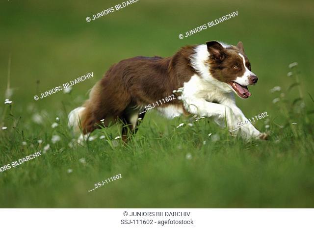 animal,dog,Border-Collie