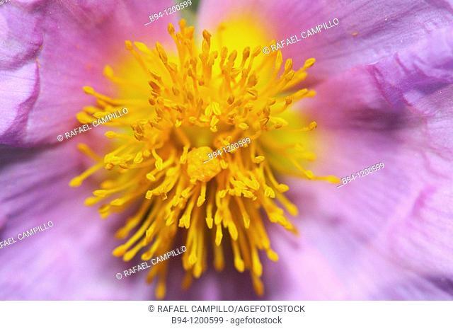 Rockrose (Cistus albidus, fam. Cistaceae). Torrelles de Llobregat, Baix Llobregat, Barcelona, Catalonia, Spain