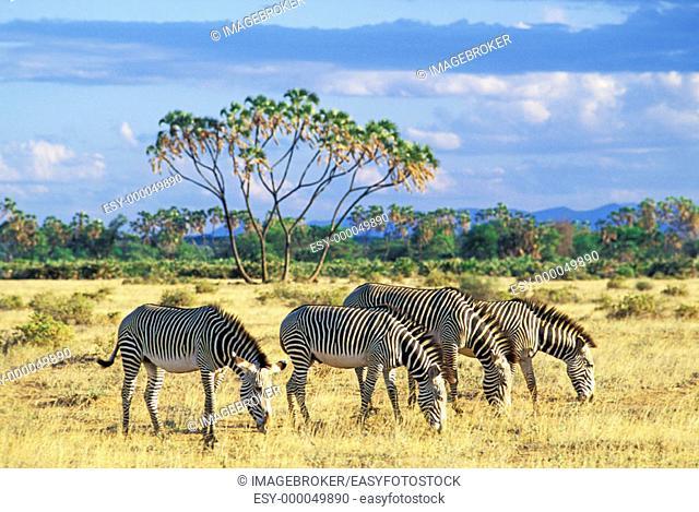 Grevy's Zebras (Equus grevyi) in front of a Doum Palm, Samburu National Reserve. Kenya
