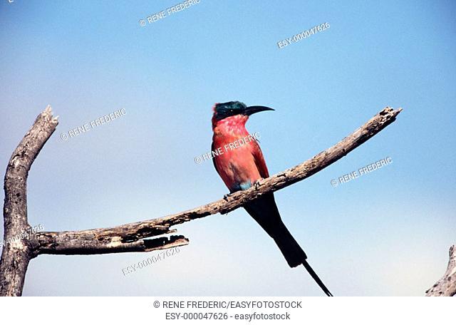 Carmine bee-eater (Merops nubicoides). Linyanti Swamp. Botswana
