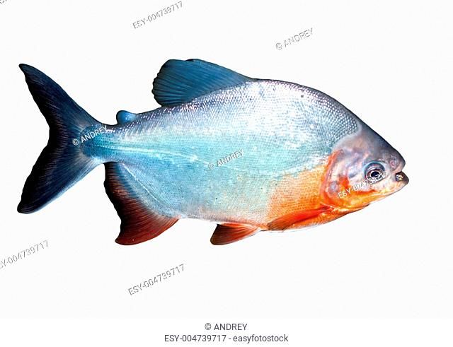 Piranha fish in water With Clipping Path