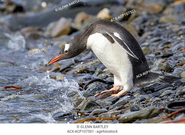 Gentoo Penguin (Pygoscelis papua) perched on a rocky beach on South Georgia Island