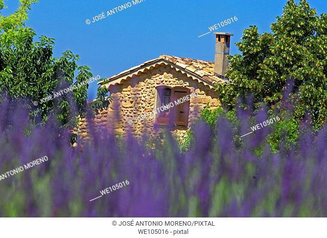 Lavender field at Plateau de Valensole, Alpes-de-Haute-Provence, Provence-Alpes-Côte d'Azur, France