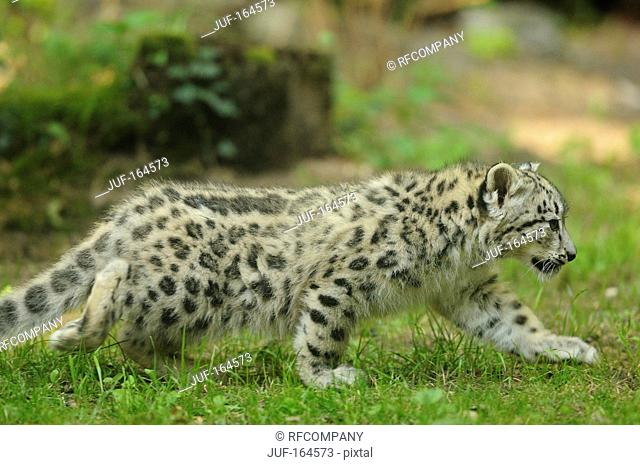 Snow leopard - cub - walking / Uncia uncia