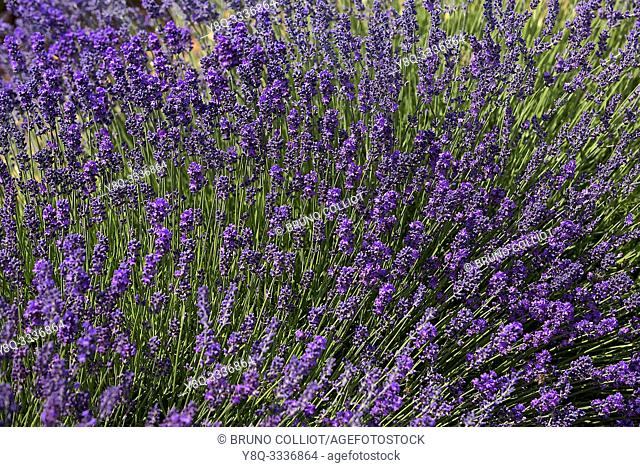 fields of lavender on domain - the castle of wood - Lagarde Apt. vaucluse, france