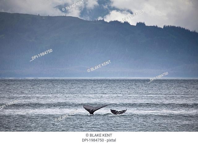 mother and calf whale tails megaptera novaeangliae, juneau alaska united states of america
