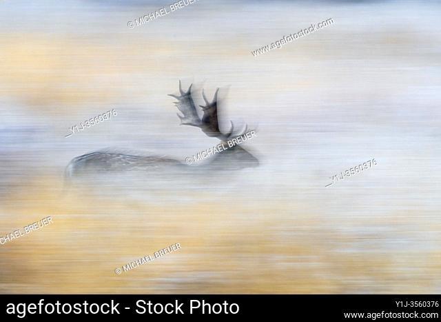 Running fallow deer in autumn, Germany, Europe