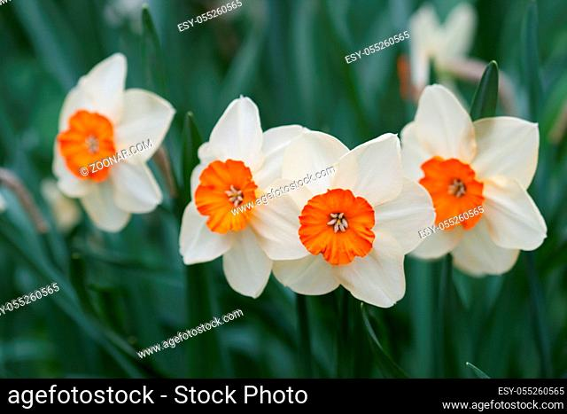 White and yellow narcissus flowers in the spring garden