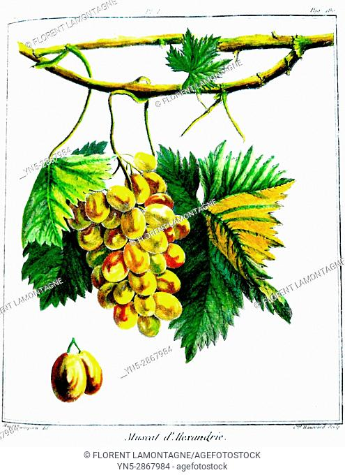 Old botanical board of the grappe species Muscat d'Alexandrie or d'Espagne