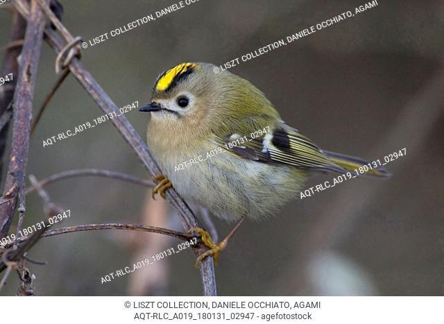 Goldcrest perched on branch, Goldcrest, Regulus regulus