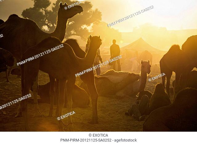 Camels at Pushkar Camel Fair in early morning, Pushkar, Ajmer, Rajasthan, India