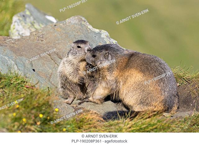 Alpine marmot (Marmota marmota) adult playing with young, Hohe Tauern National Park, Carinthia, Austria
