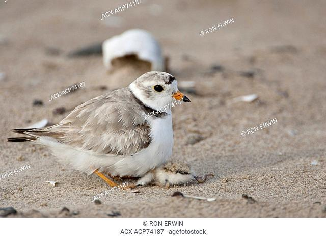 An endangered Piping Plover (Charadrius melodus melodus) adult stands over its dying chick to protect it on Iles de la Madeleine, Quebec, Canada