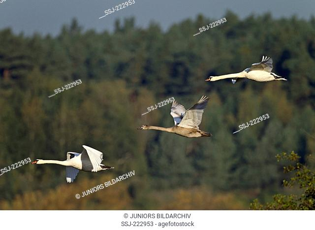 Mute Swan (Cygnus olor) male, female and their young flying, Oberlausitz, Germany