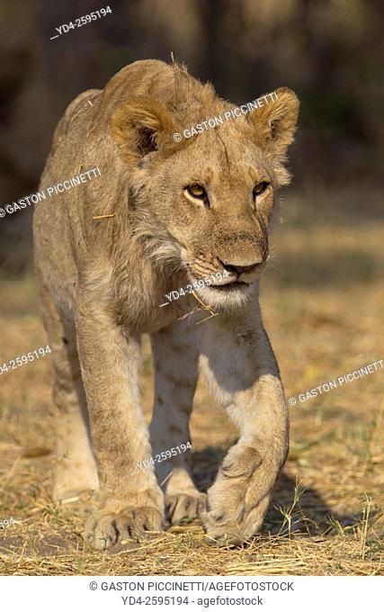 African lion (Panthera leo) - Young, Savuti, Chobe National Park, Botswana