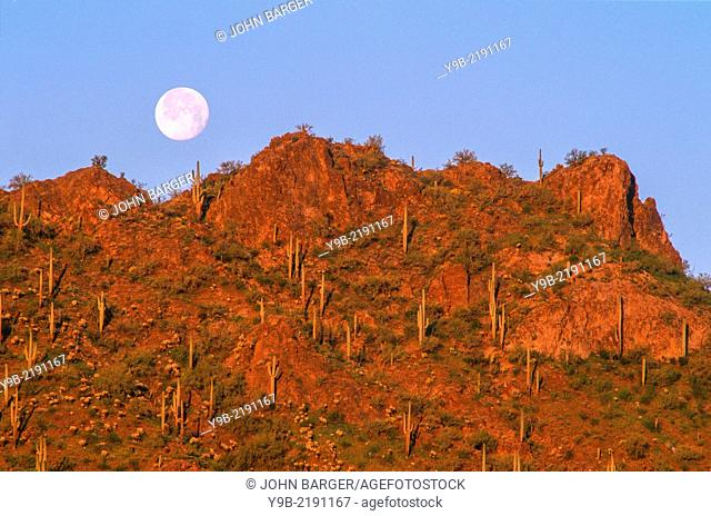Full moon sets at sunrise over saguaro cacti on rocky slopes, Picacho Peak State Park, southeast Arizona, USA