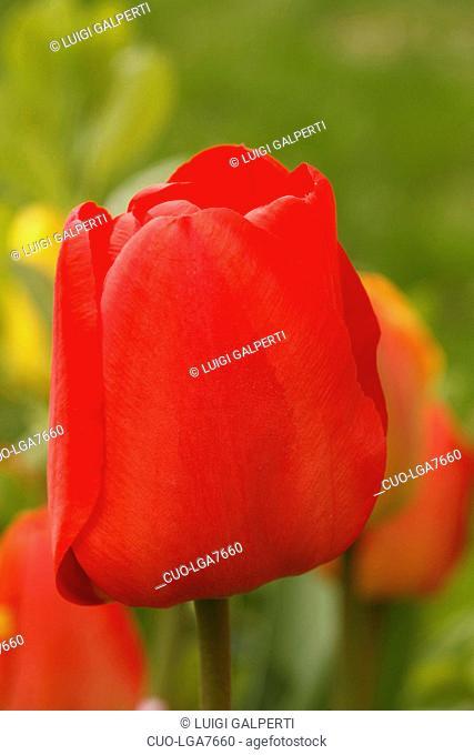 Tulipa Apeldoorn, tulipano