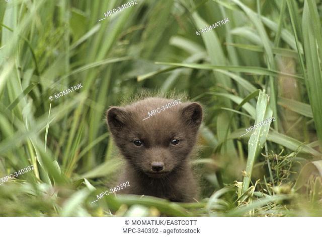 ARCTIC FOX (Alopex lagopus), PUP IN BLUE PHASE, AT ENTRANCE OF BURROW, SUMMER, ST. PAUL ISLAND, PRIBILOFS, ALASKA