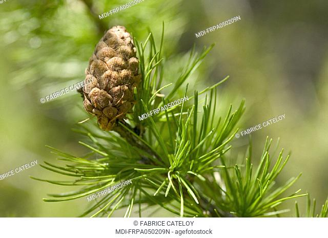 A fir cone on a branch of a fir tree