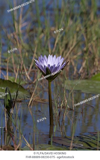 Nymphaea nouchali, commonly known as the Red and blue water lily, Blue star water lily, Star lotus, or by its synonym Nymphaea stellata, is a water lily