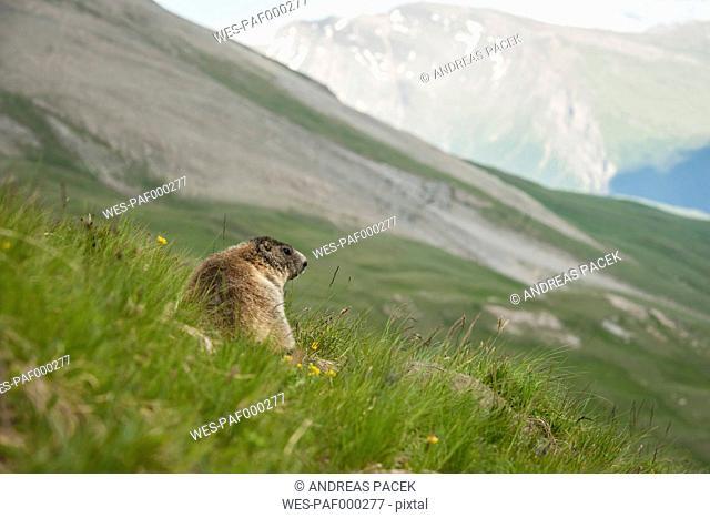 Austria, Carinthia, Kaiser-Franz-Josefs-Hoehe, alpine marmot (marmota marmota) on meadow