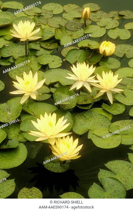 Yellow-flowered Water Lily (Nymphaea hybrid), Balboa Park, San Diego, California