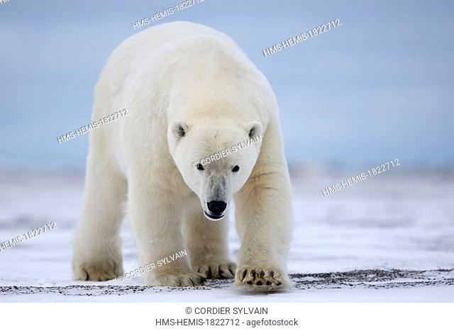 United States, Alaska, Arctic National Wildlife Refuge, Kaktovik, Polar Bear (Ursus maritimus), along a barrier island outside Kaktovik