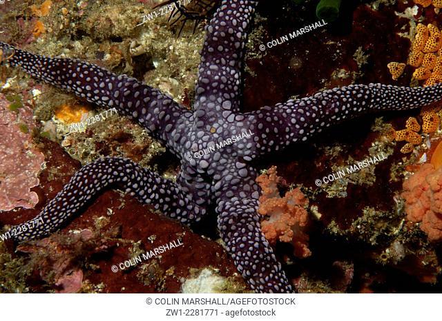 Warty Mesh Sea Star (Nardoa tuberculata), 3 Sisters dive site, Padar Island, Komodo National Park, Indonesia