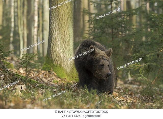 European Brown Bear / Europaeischer Braunbaer (Ursus arctos ) roaming through the undergrowth of a natural mixed forest.