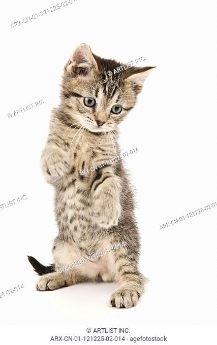 A standing kitten