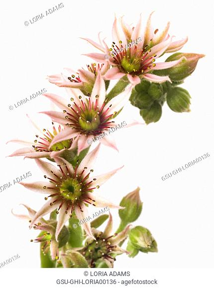 Flowering Hens and Chicks Succulent, Sempervivum, Close-Up Detail against White Background