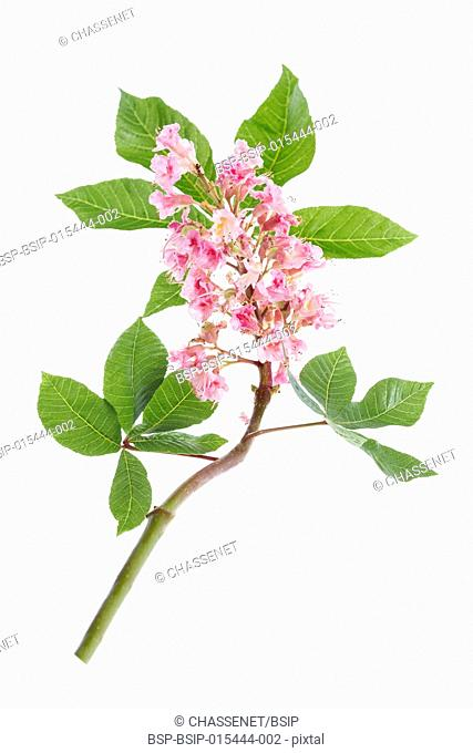 pink flowers of horse chestnut closeup on white