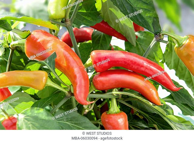 Chilli, pepper pods, red, yellow, green, shrub, leaves, lat.: Capsicum, solanum