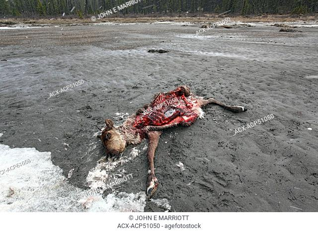 Wolf-killed caribou carcass in Jasper National Park